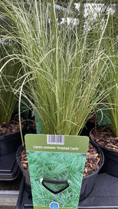 Frosted Curls Grass 17cm Pot