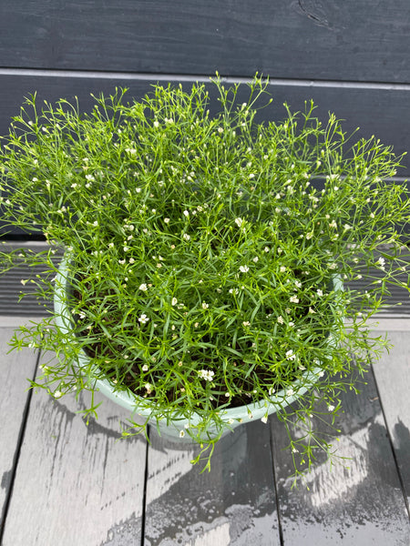 Gypsophila Planter
