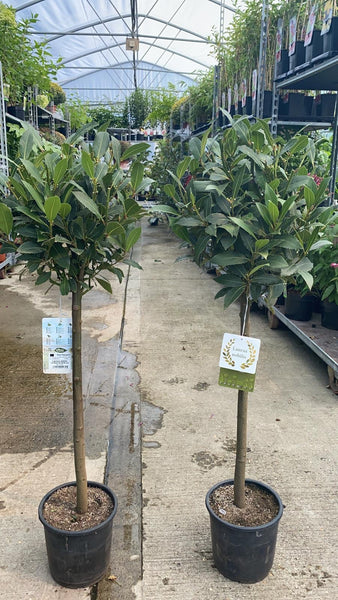 Lollipop Bay Tree 120cm
