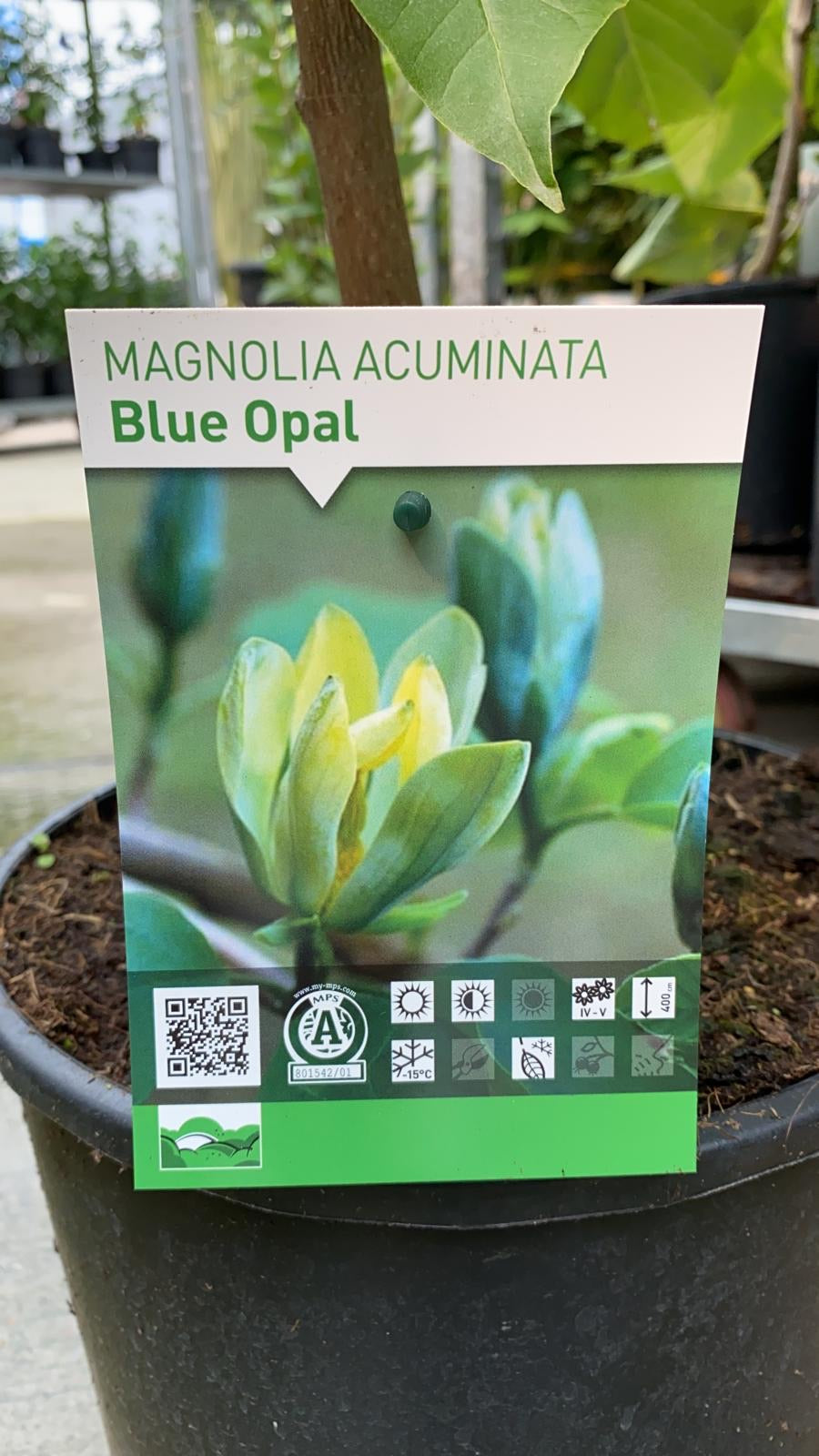 Magnolia Blue Opal 12L Pot