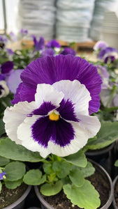 Pansy 6 Pack - Purple with White