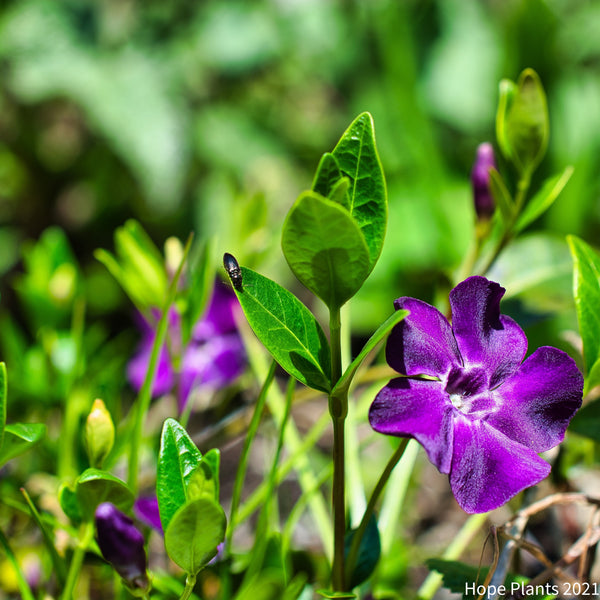 Vinca Minor Atropurpurea 3L