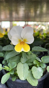 Viola 6 Pack - White and Yellow