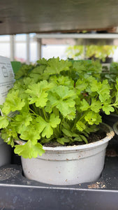 Parsley 11cm Pot