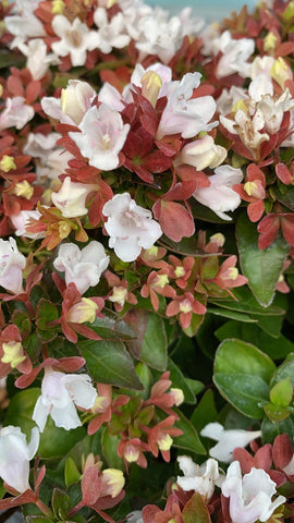 Abelia Little Lady 19cm Pot