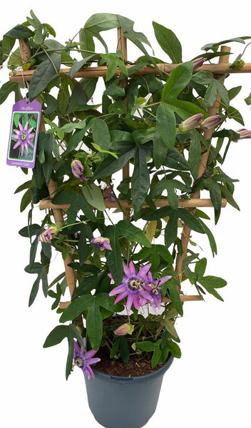 Framed Passion Flower Lavender Lady 5L