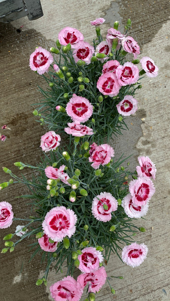 Dianthus Pinks Collection