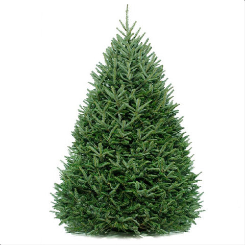 Fraser Fir Premium Cut 7/8ft - Deposit price starts...
