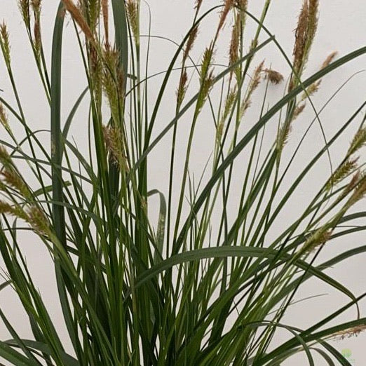 Carex Oshimensis 'Evergreen' 1L