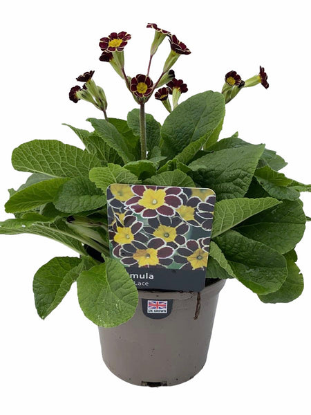 Primula Gold Lace 1L