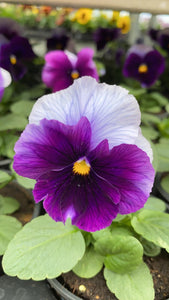 Pansy 6 Pack - Silver and Purple