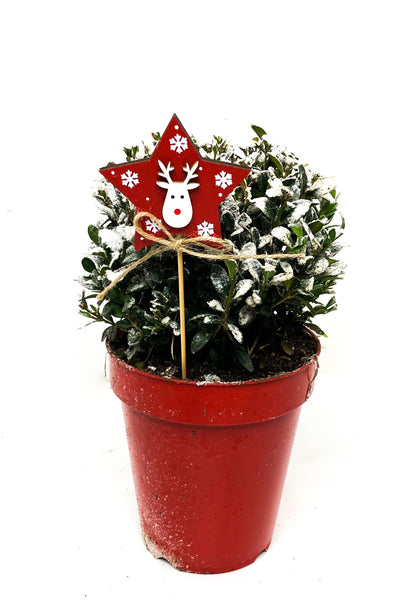Snowy Buxus in a Red Christmas Pot