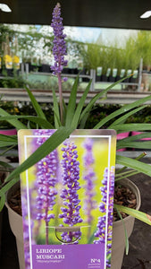 Liriope Muscari Moneymaker 19cm Pot