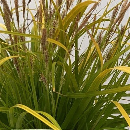 Carex Oshimensis 'Everillo' 2L