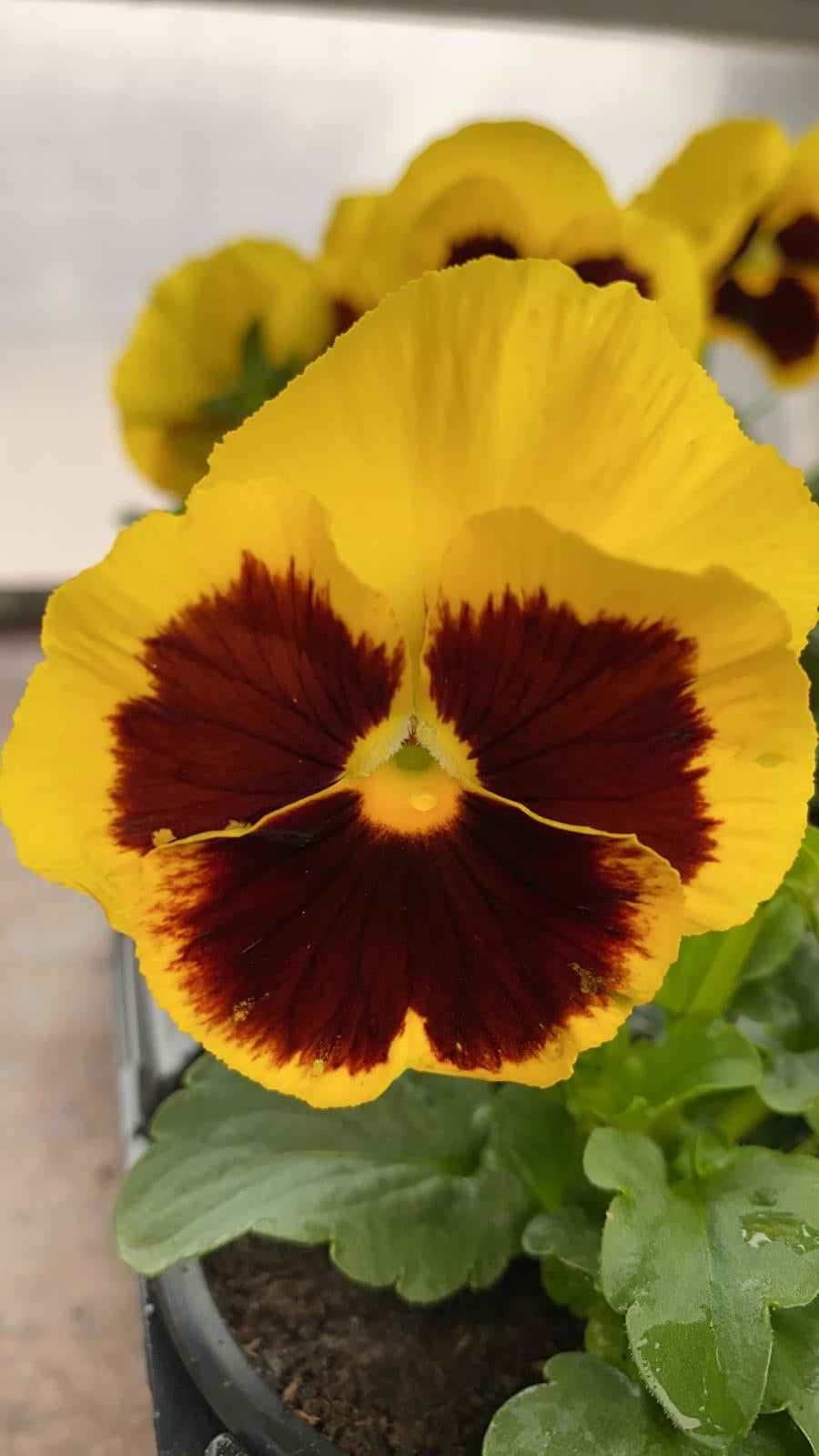 Pansy 6 Pack - Yellow Bicolour