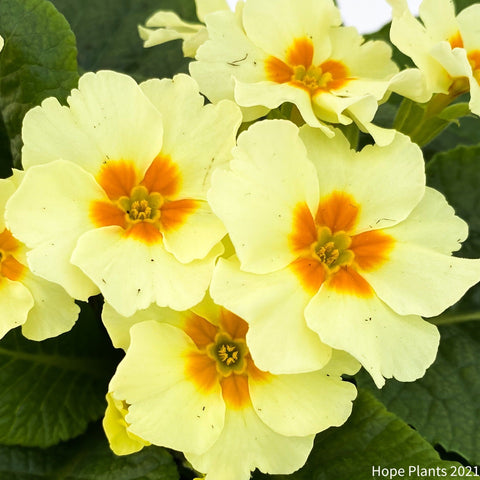 Large Primrose Everlast 1L