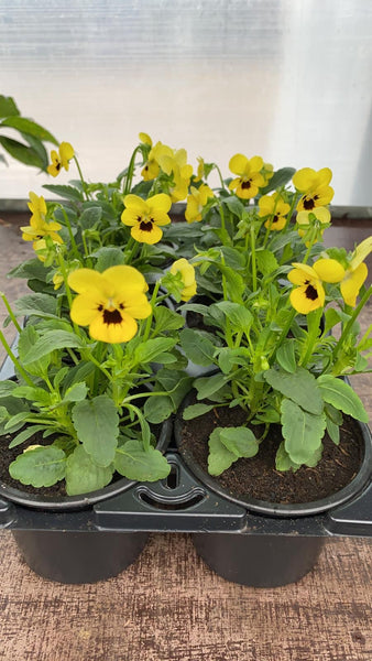 Viola 6 Pack - Yellow with Dark Centre