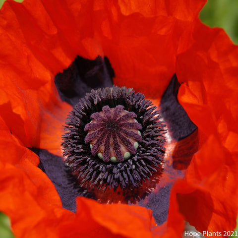 Poppy Oriental Brilliant 1L
