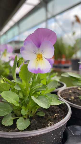 Viola 6 Pack - Violet with Yellow
