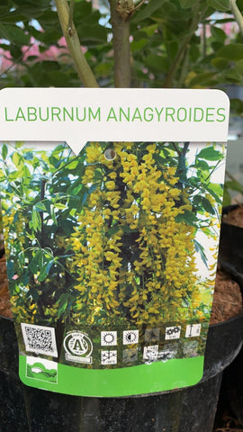 Laburnum Golden Chain Tree 20cm Pot