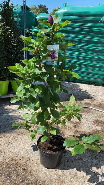 Magnolia Genie Noble Tree 10L Pot