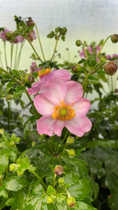 Anemone Pretty Lady Pink 19cm Pot