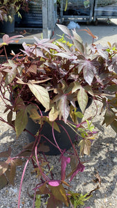 Bronze Ipomoea 7L Pot