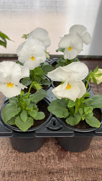 Pansy 6 Pack - White