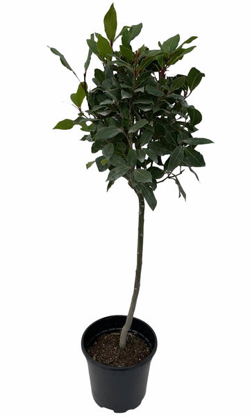 Lollipop Bay Tree 80cm High with 20cm Ball
