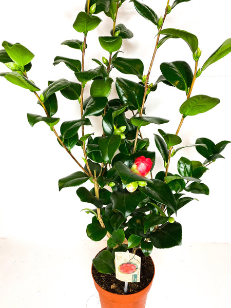 Camellia Lady Campbell 2L