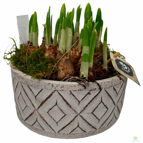 Daffodil Tête-à-tête in Ceramic Pot