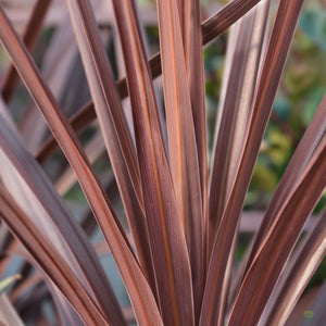Cordyline Red Star 1L