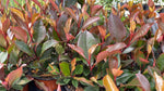 Photinia Little Red Robin 10.5cm Pot