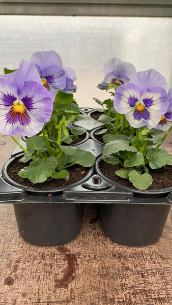 Pansy 6 Pack - Lilac