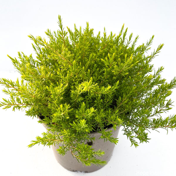 Diosma Sunset Gold 3L
