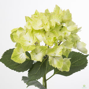 Hydrangea Macrophylla Magical Noblesse 4L