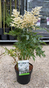 Astilbe Washington 6L Pot