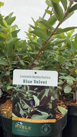 Honeyberry Blue Velvet 20cm Pot