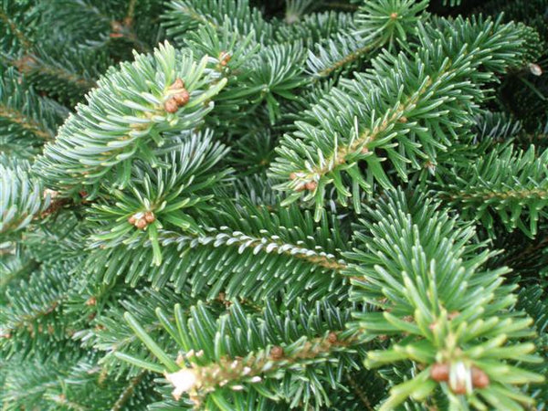 Fraser Fir Premium Cut 6/7ft