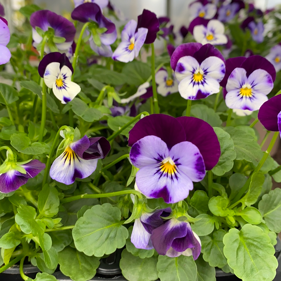 Viola 6 Pack - Lilac and Purple