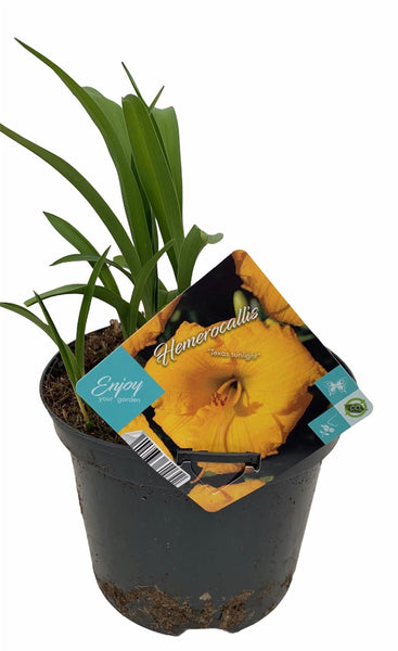 Daylily Texas Sunslight 3L