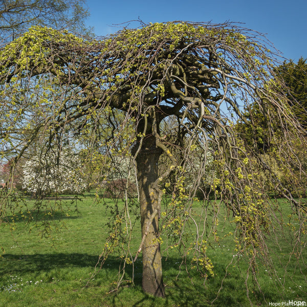 Weeping Willow Tree 3L