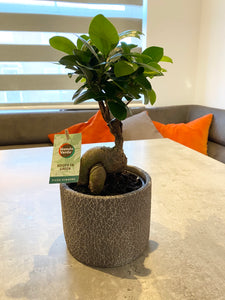 House Plant— Ficus Ginseng