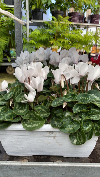 Cyclamen in a Coloured Trough