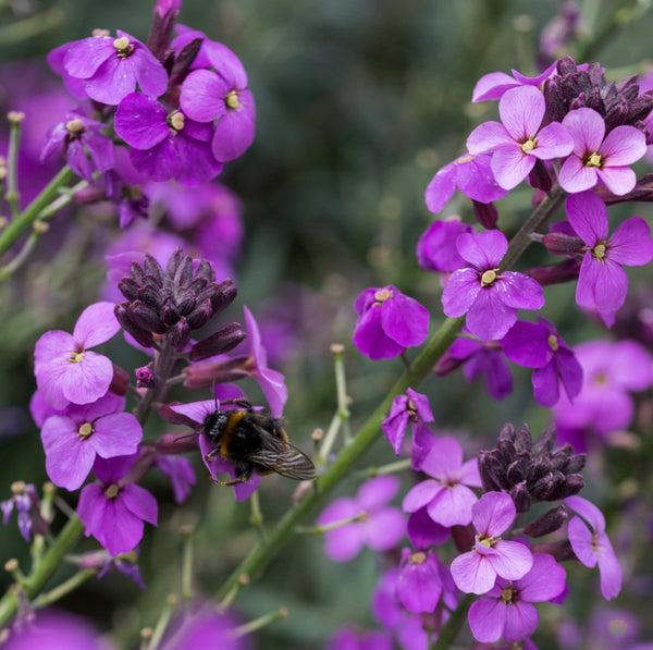 Wallflower Bowles Mauve 2L