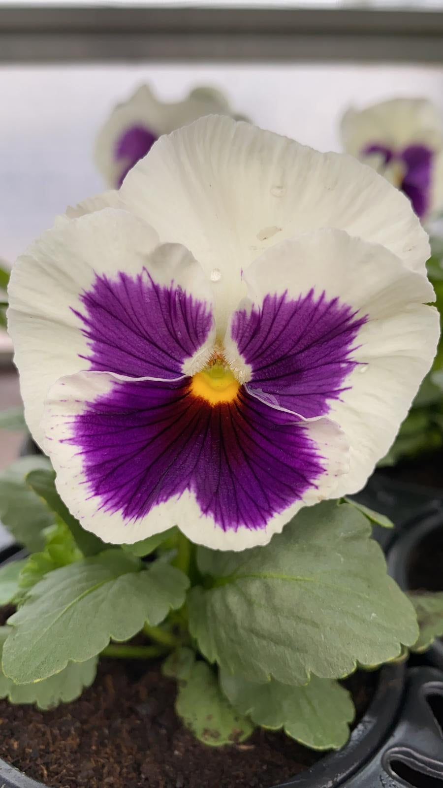 Pansy 6 Pack - White & Purple
