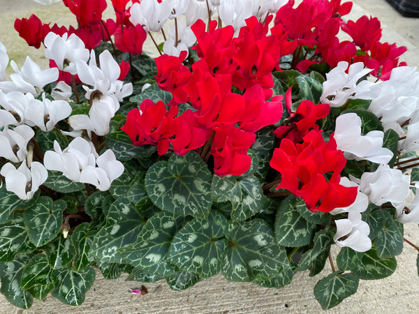 Mini Cyclamen 10.5cm Festive 6 Pack
