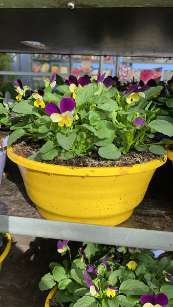Viola in a Coloured Bowl