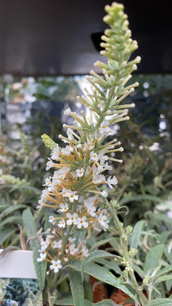 Buddleja White Ball 20cm Pot