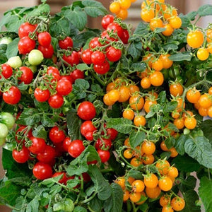 Grafted Cherry Tomato Sweet & Sturdy 1L - PRE ORDER